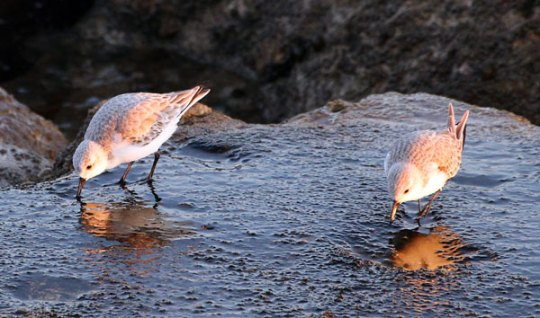 Pair of Algarve Plovers