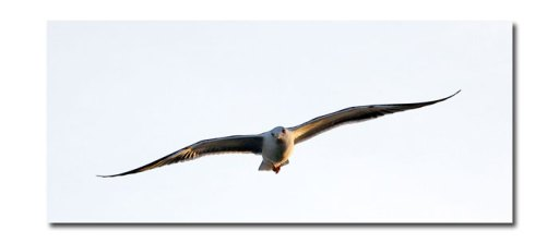 Seagull flying photograph by D Sheldrake