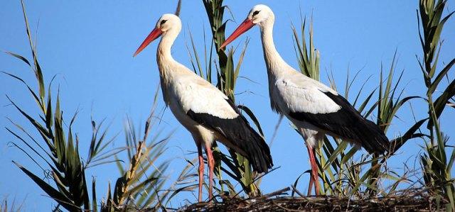 white storks at Silves