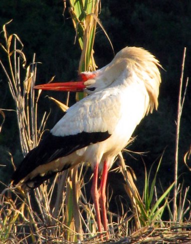 White Stork photograph - head back