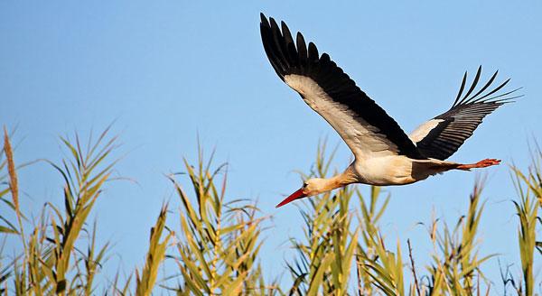 White stork in flight Algarve