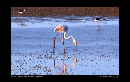 Salgados flamingo