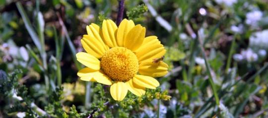 Aljezur flower