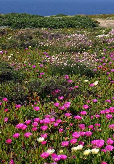 Aljezur flowers