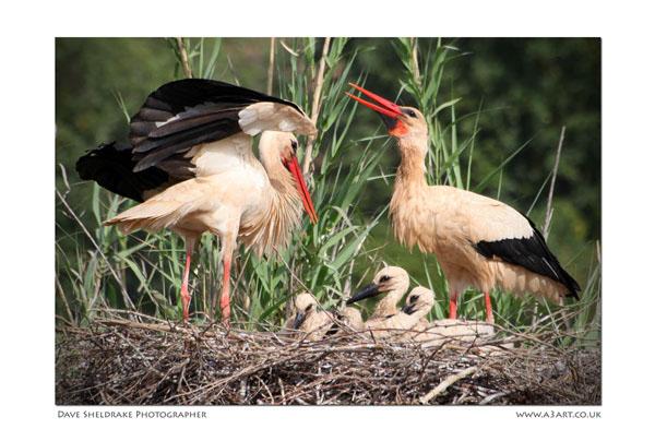 White Stork family Algarve