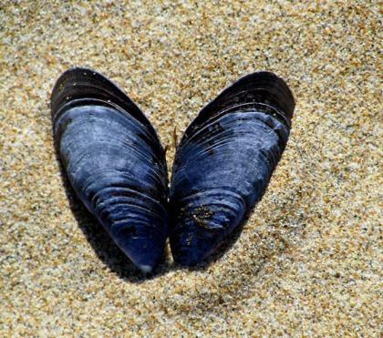 butterfly shells