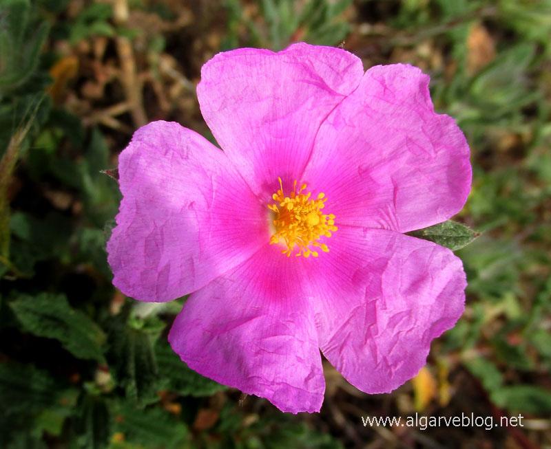 Algarve Blog Wild Flowers